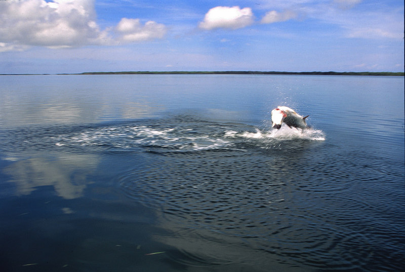 Jumping Tarpon Fly Fishing Belize