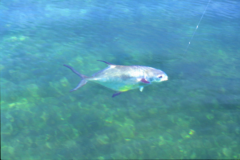 Fly fishing Belize Permit