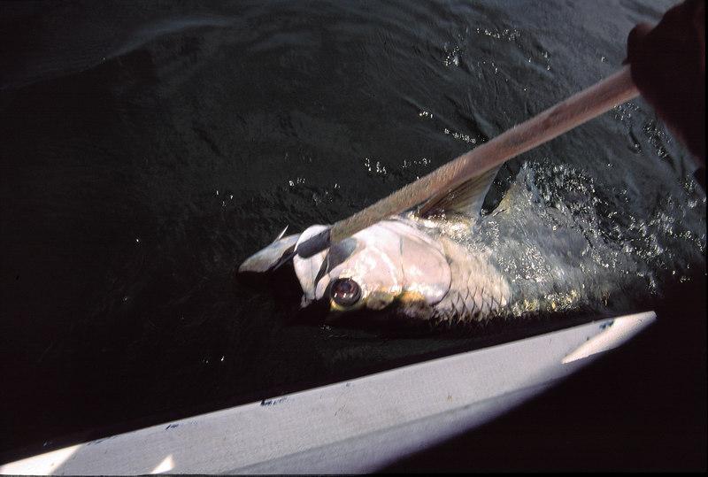 Tarpon Fly Fishing Belize