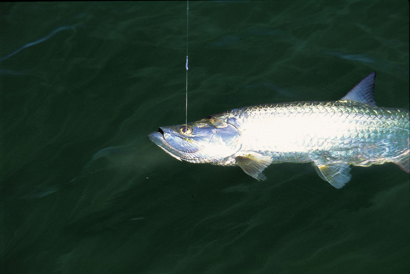 Tarpon Fly Fishing Belize