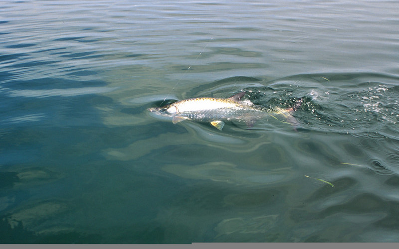 Fighting Tarpon Fly Fishing Belize