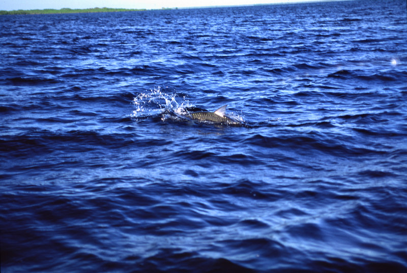Fighting Tarpon Fly Fishing Belize