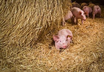 L'élevage de porcs sur paille reste très minoritaire sur le territoire.