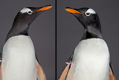 Proof that it is possible to polarize a penguin... even with no modeling light!