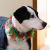Riley with his Christmas collar