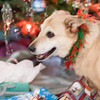 Smokey and her Christmas collar