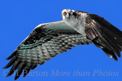 Observing Florida in March was the source of many bird pictures.  [see my Birds gallery for all of them: http://www.jerrybarton.eu/Animals/Bird/]  I'll only list two here.  This osprey was cruising just offshore.  The shot is a tad over-sharpened but I like the direct gaze and the composition.