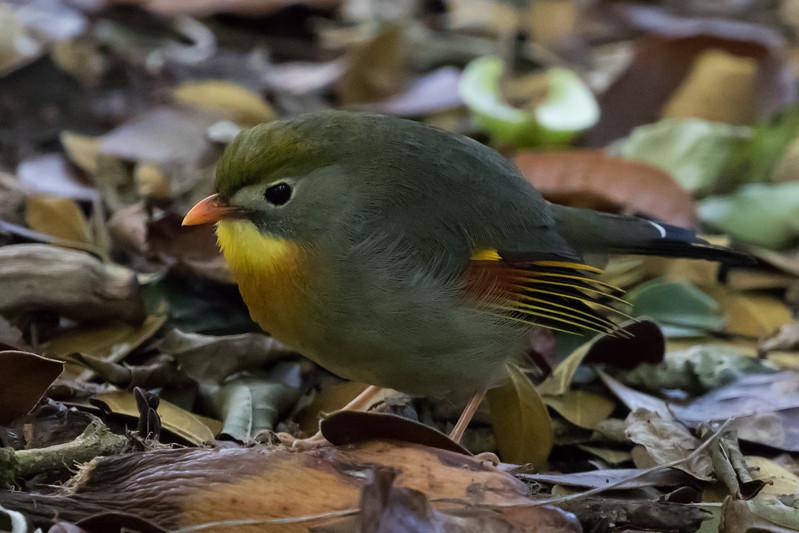 Peking Nightingale