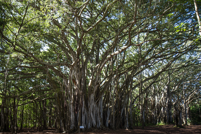 Lost Banyan