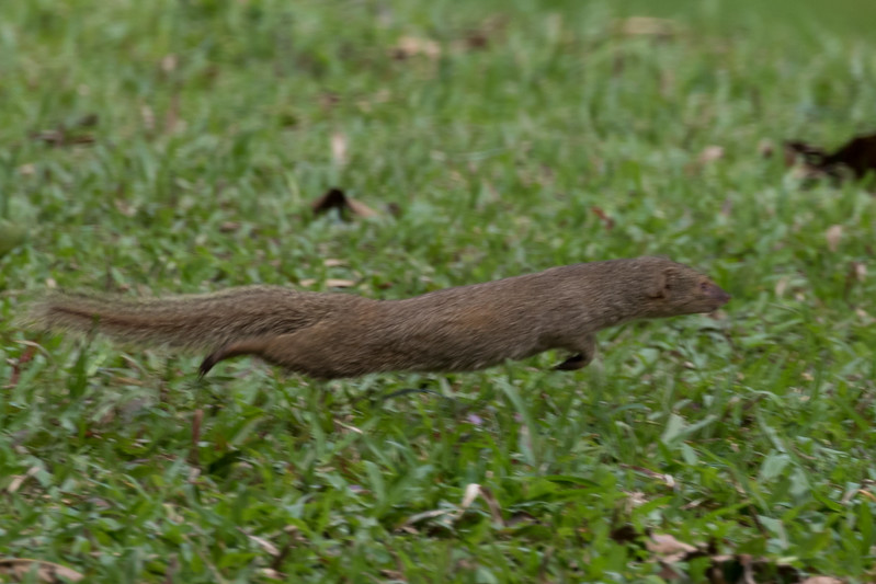 Flying Mongoose