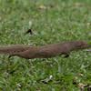 Flying Mongoose
