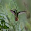 Buff-Bellied Humingbird