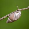 Rabdotus Snail