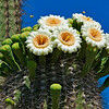 Saguaro Blossoms with Bees