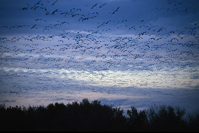 NM_Cloud of Blue Snow Geese_07