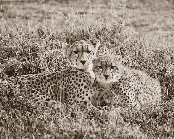 Cheetahas Sepia