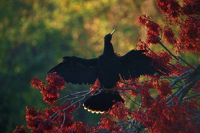 FL_Cormorant Back Lit on Red FL