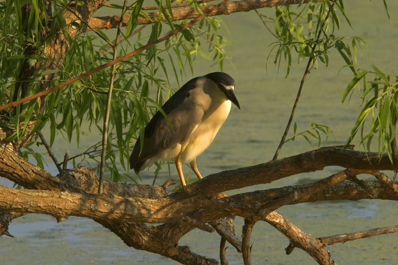 Night Heron<br> Magnolia Gardens