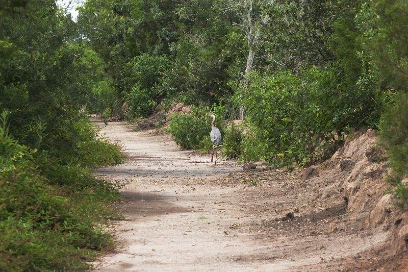 Dusty road at Magnolia Gardens belongs to a <br /> Great Blue Heron, home grown southern bird