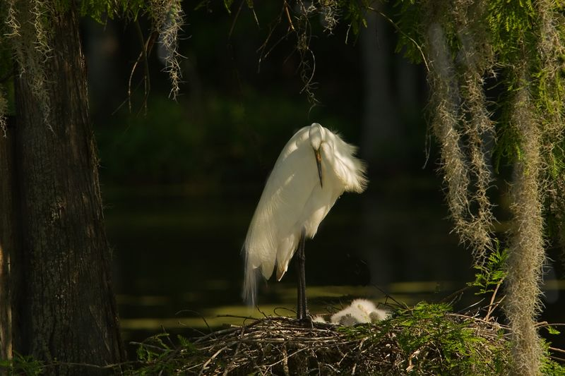 Egret And Babies