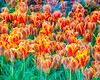 Multiple exposure bed of tulips