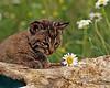 Bobcat kitten in Hallmark moment