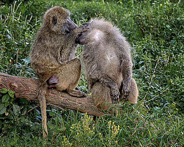 Groomin Baboon