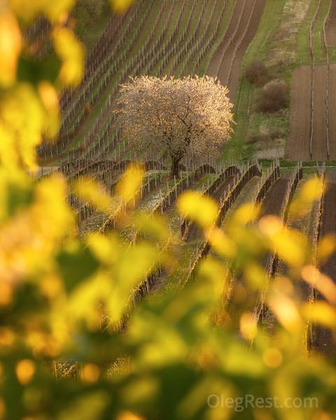 Single tree in Moravia
