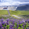 Lupines in Iceland