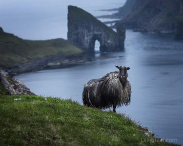 Sheep as a model