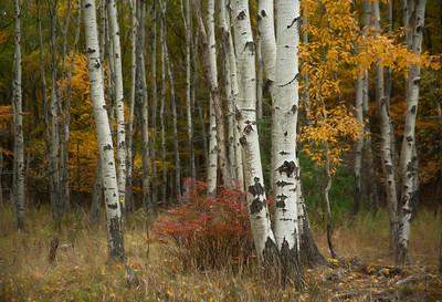 White Birch on Otter Creek Road