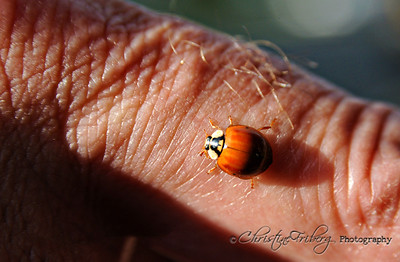 day127_ladybug2