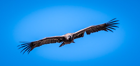 Condor at the Colca canyon, Peru