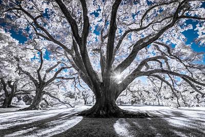 Magical Oak