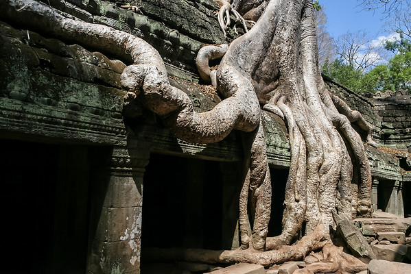 Rooted in Angkor