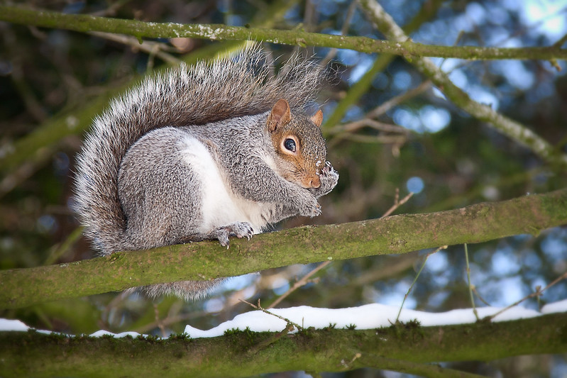 Squirrel in snow-covered tree 2