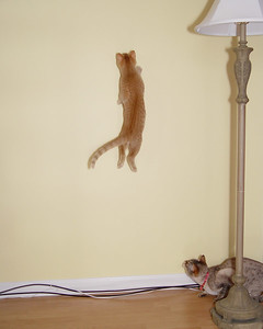 Maximus the Acrobat (Acrocat) chases a laser pointer up the wall