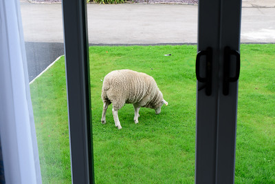 This sheep was a regular visitor to the site, saves mowing the Lawn