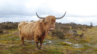 Highland Cows in Devon