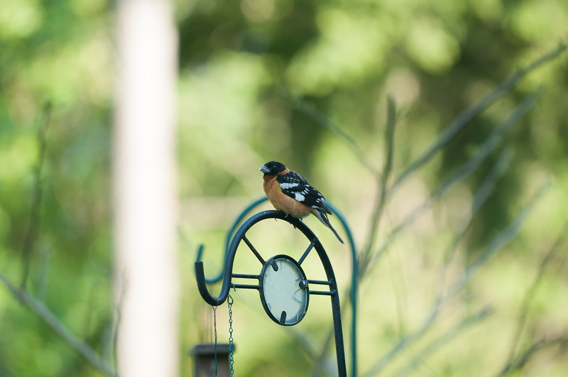 Believed to be a juvenile Spotted Towhee