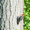 Red-headed Sapsucker
