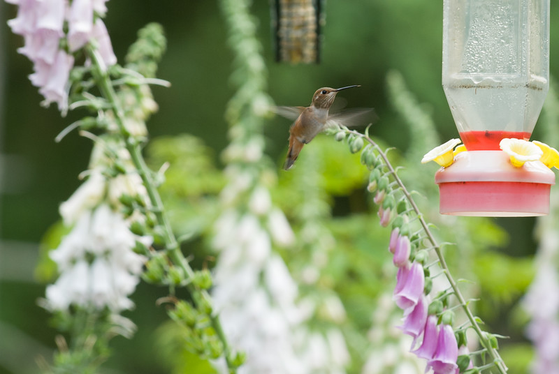Rufous on the fly.