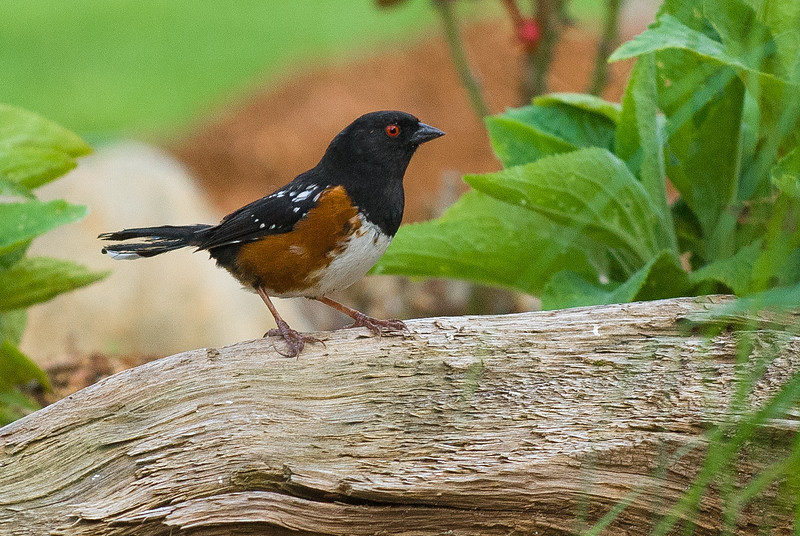 Adullt Spotted Towhee