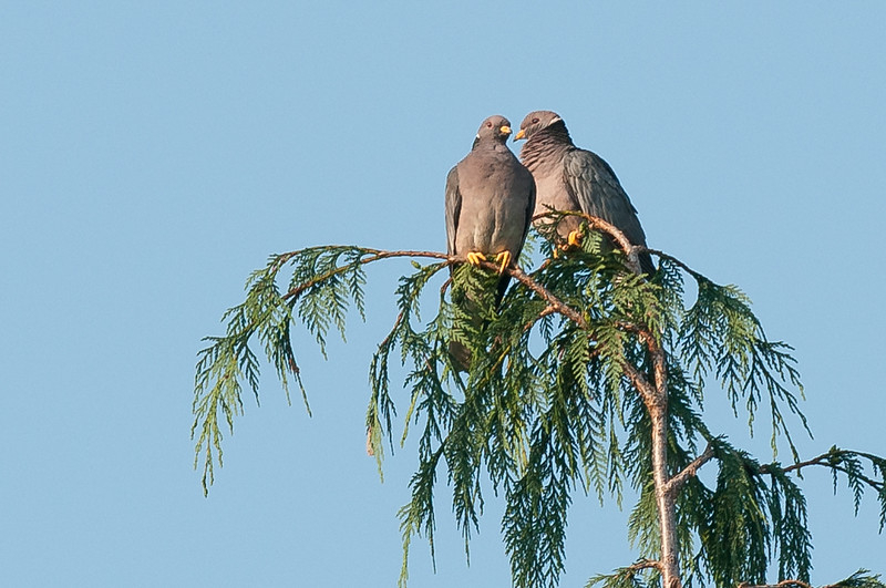 They perch almost like raptors!