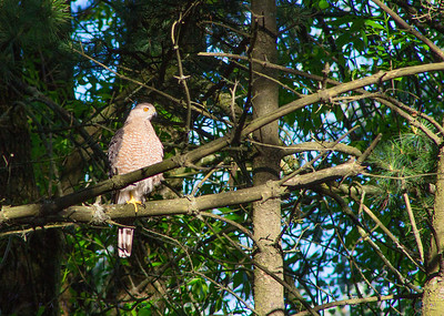 Coopers Hawk, Terre Andrae 15