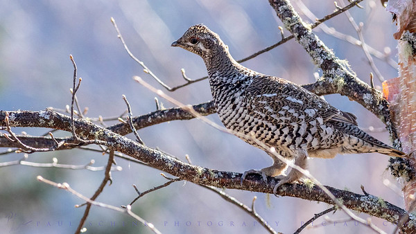 Female Spuce Grouse