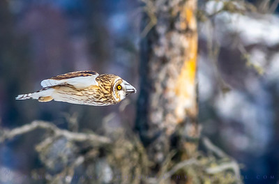 Male Northern Short Eared Owl