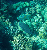 Spotted Puffer; Arothron meleagris
