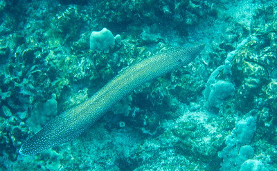 Whitemouthed Moray; Gymnothorax meleagris