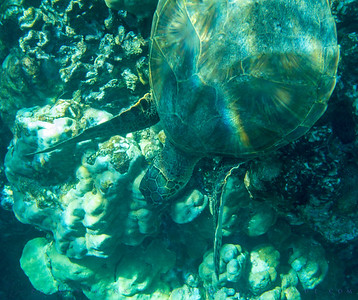 Green Sea Turtle; Chelonia mydas